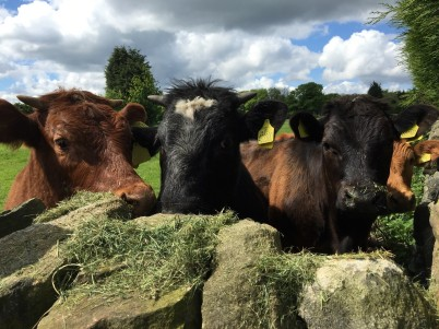 cattle over our garden wall
