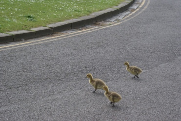 Goslings crossing the street in York