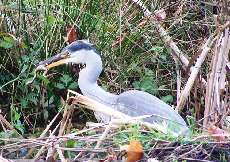 A Heron and frog