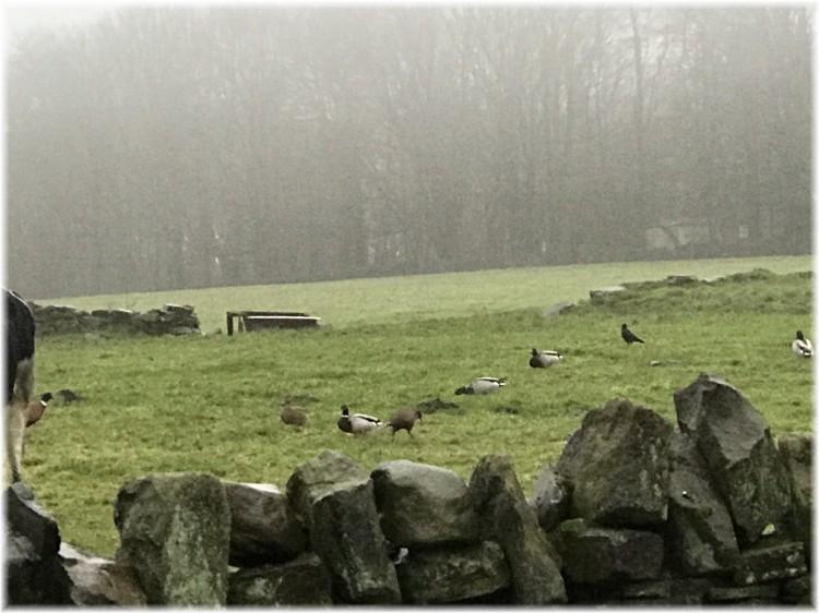Ducks and pheasants 2