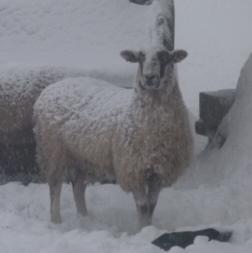 the single snow sheep