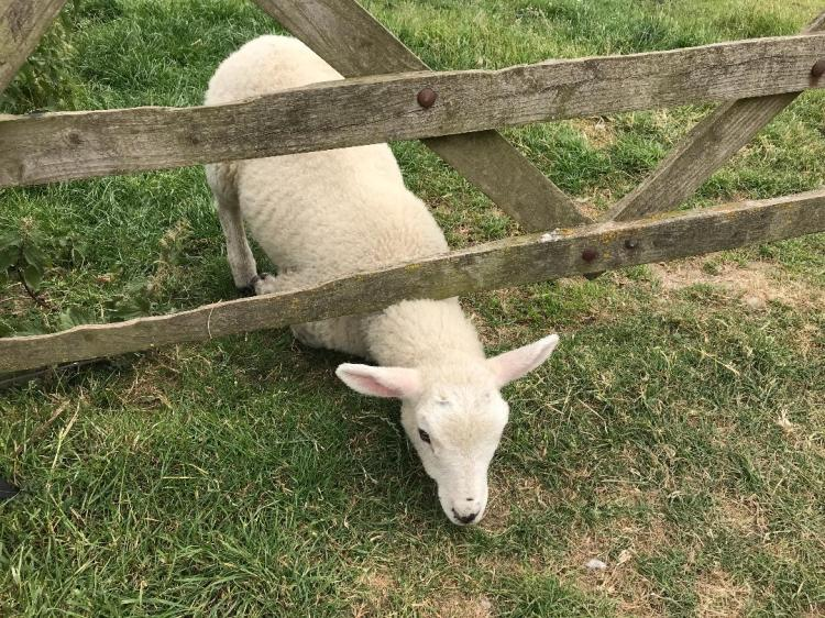 Lamb don't fence me in