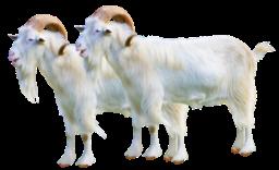 goat sheep 2