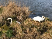 Swans making a nest toward the end of March