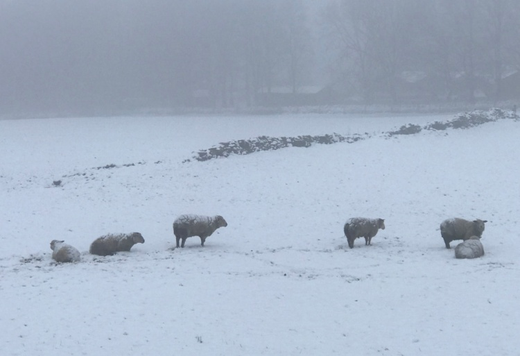 Sheep in the snow 08-20 AM