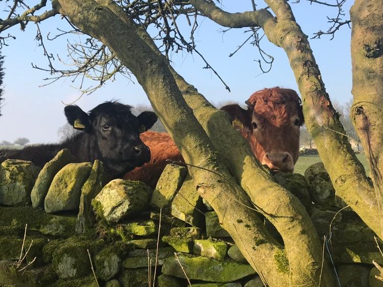 Good Morning Cows 1